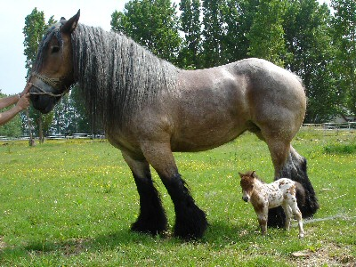 Calimero Apaloosa Pony01 Paarden Encyclopedie